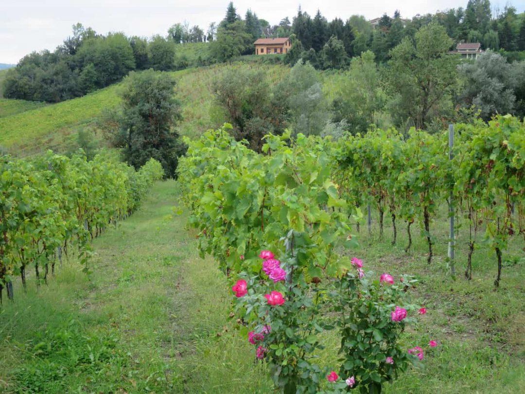 vineyard at Modena Balsamic Vinegar tour italy