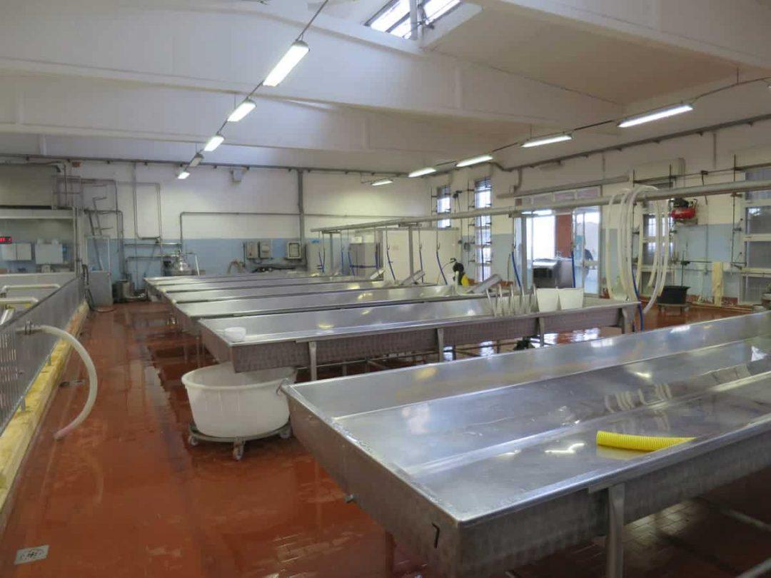 Making Parmigiano Reggiano
