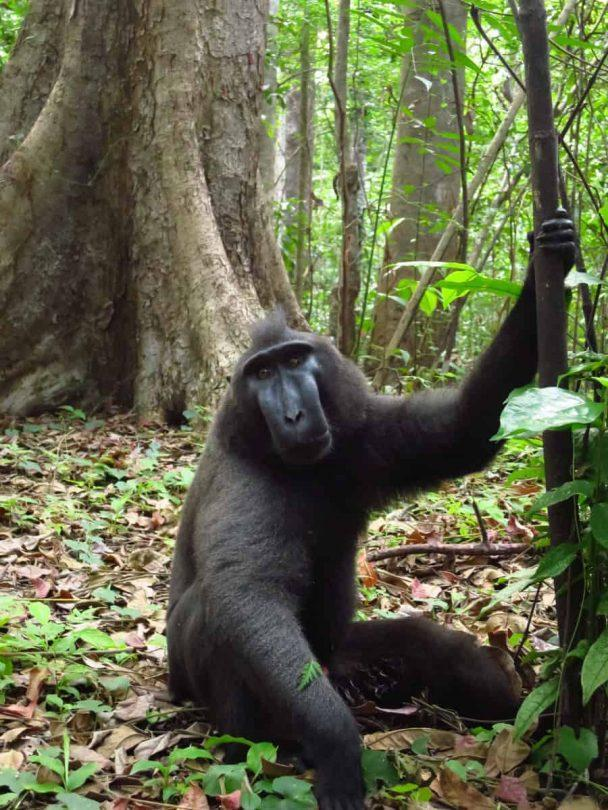 The Black Macaques - Amazing day trips in Northern Sulawesi