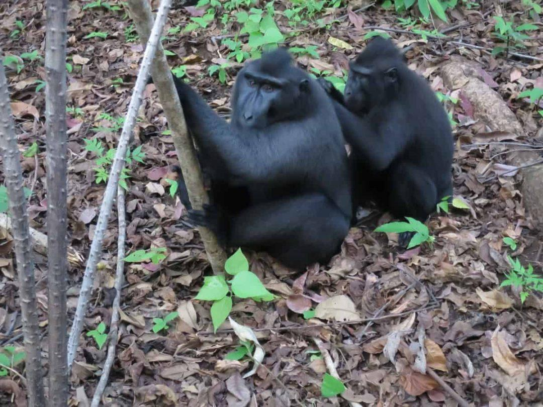 Two black macaques - Amazing day trips in Northern Sulawesi