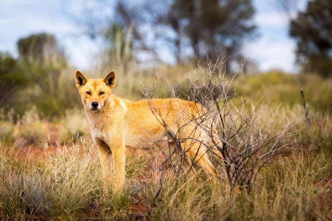 Dingo on the Connie Sue Hiway