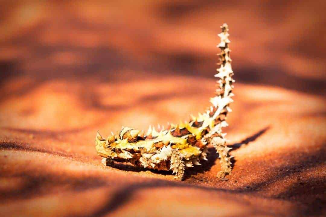 Thorny Devil on the Canning Stock Route