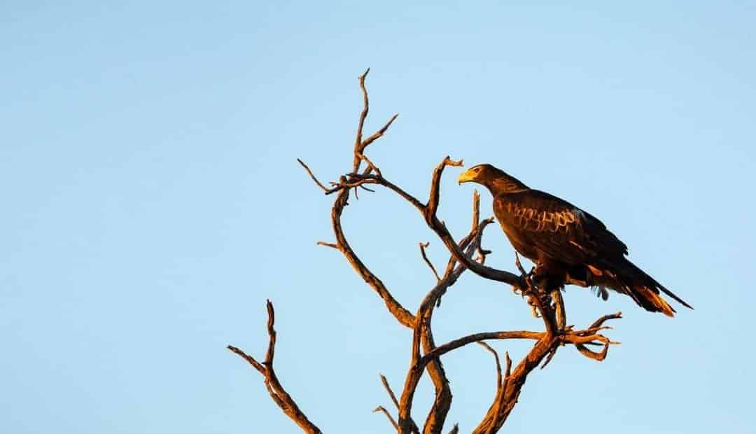 wedge-tailed eagle- planning-a-roadtrip-through-outback-australia