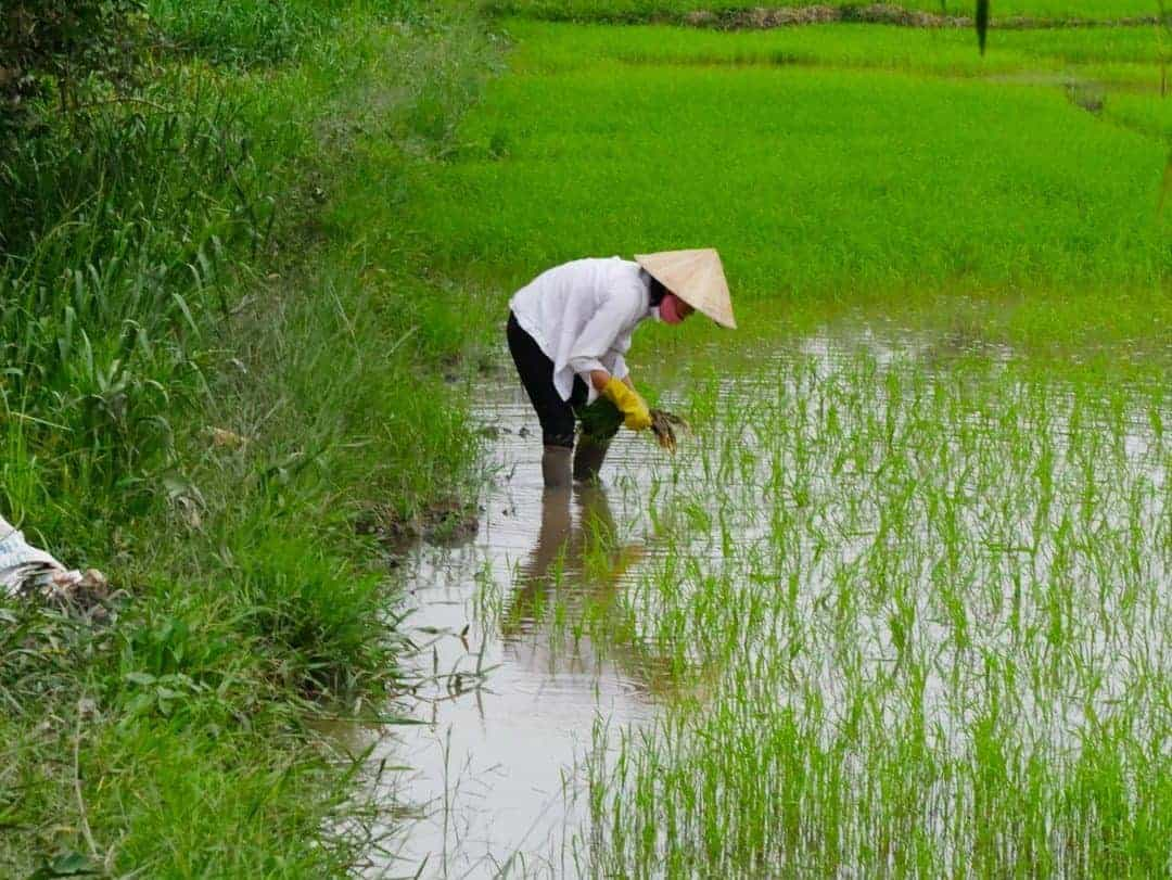 Replanting of rice in the fields