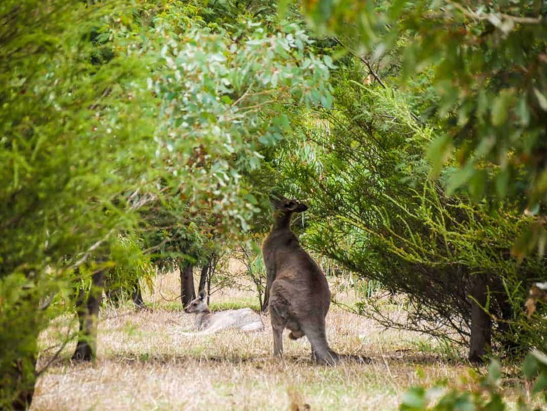 This large male kangaroo was eating the leaves from the trees