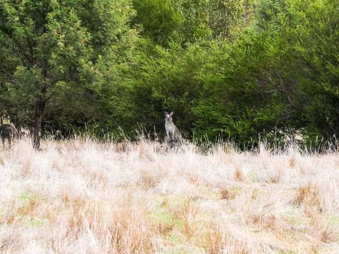Kangaroo standing in an alert position