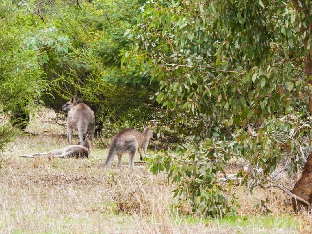 In the early afternoon, the kangaroos love just lying around, conserving their energy