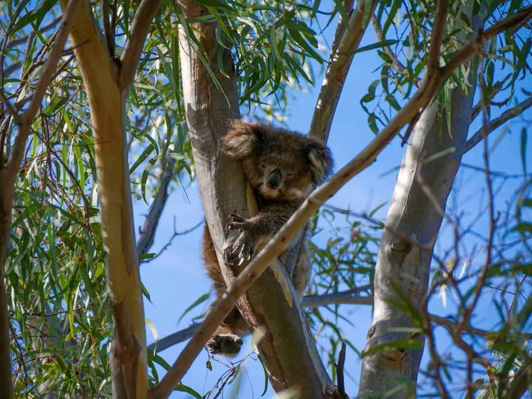 KiKi the koala best tour to see wild koalas and kangaroos in melbourne