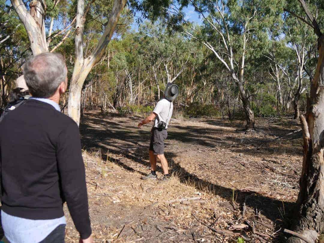 Looking for koalas