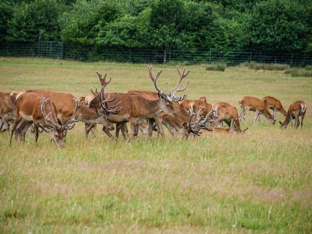 Richmond Park deer herd