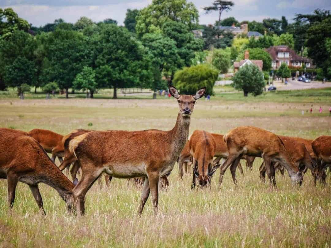Richmond Park red deer