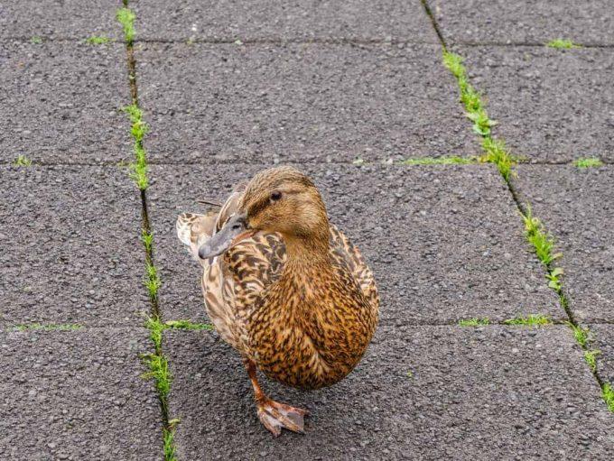 duck on tjornin pond
