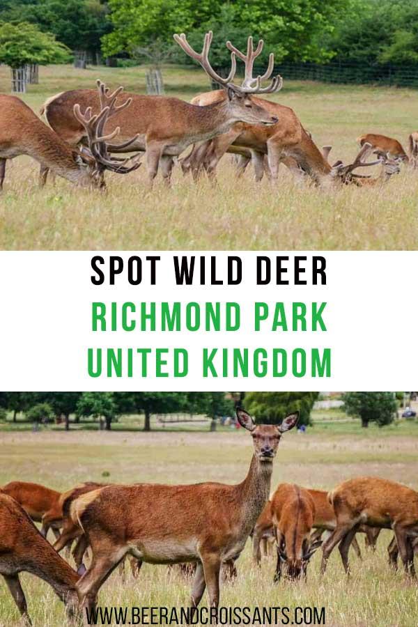 spot-wild-deer-at-richmond-park