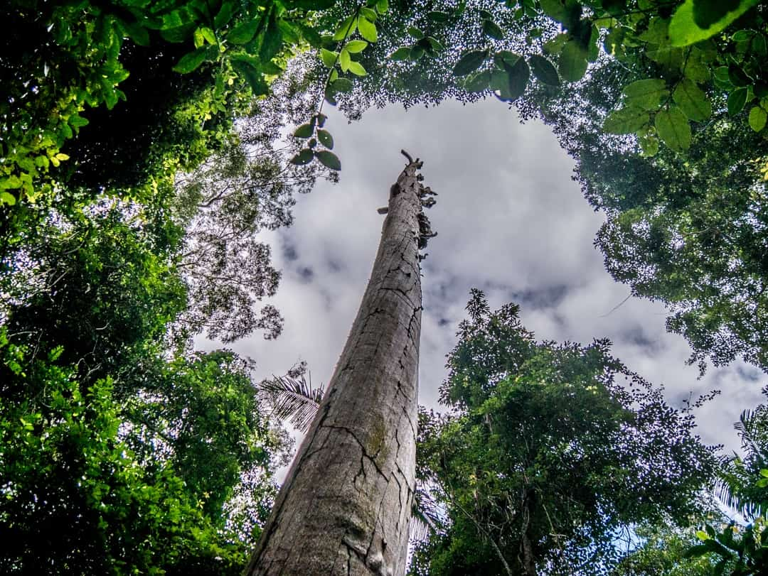 tall tree in national park