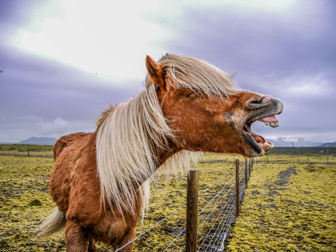 iceland laughing horse