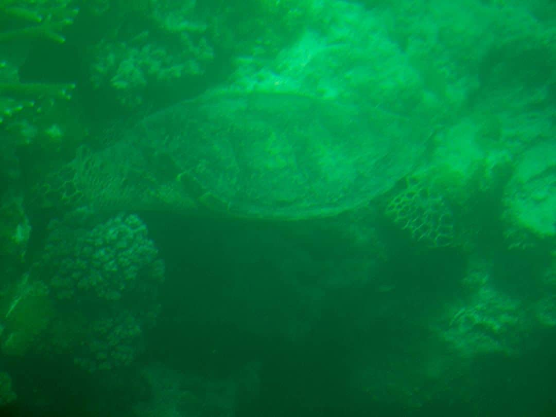 Hardys Reef The Whitsundays Qld turtle