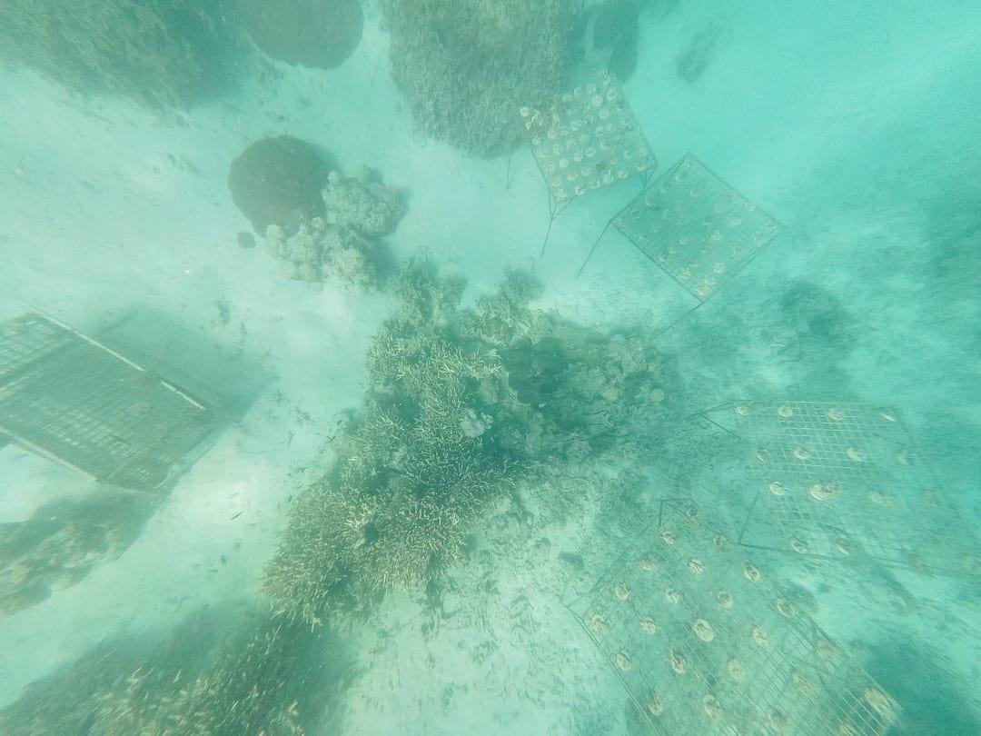 Coral planting at Castaway Island Fiji family holidays