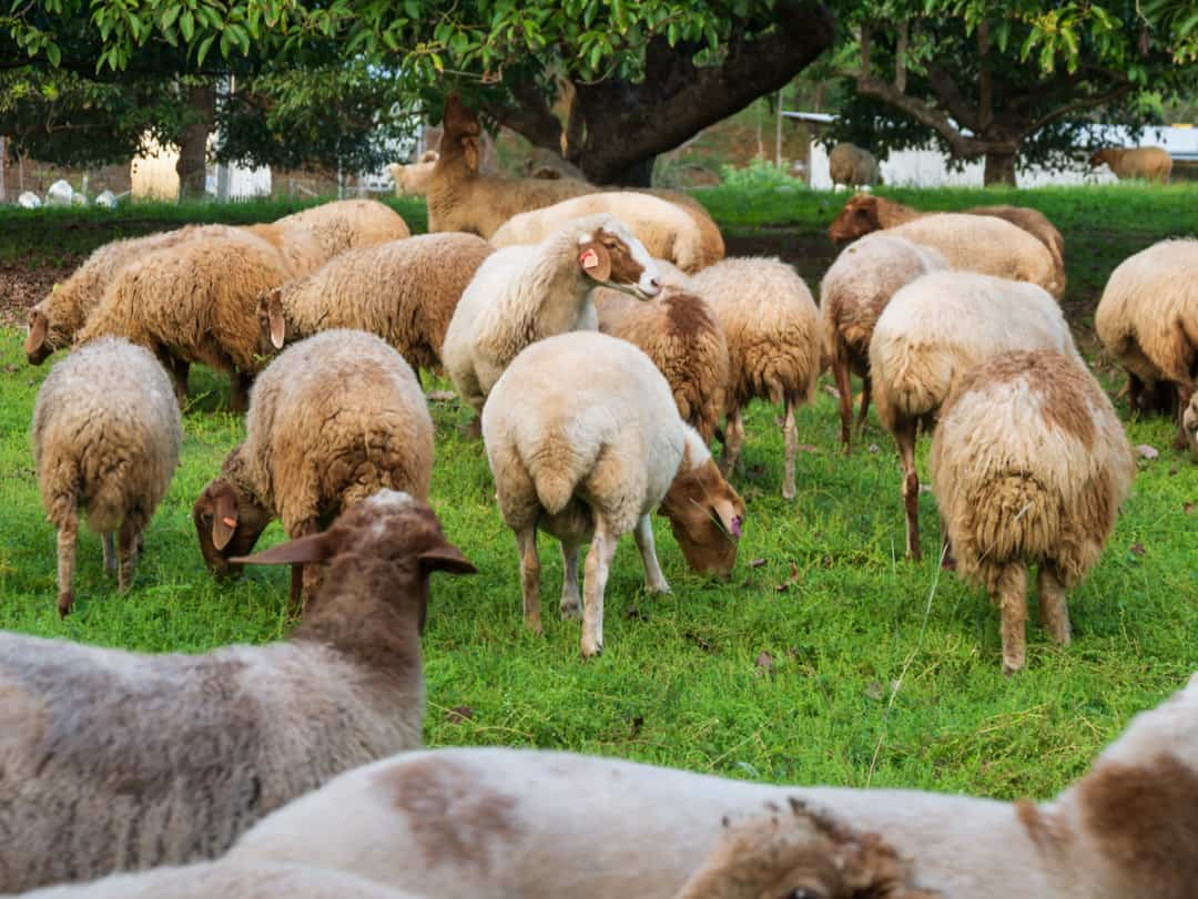Lockyer Valley sheep under the avocados