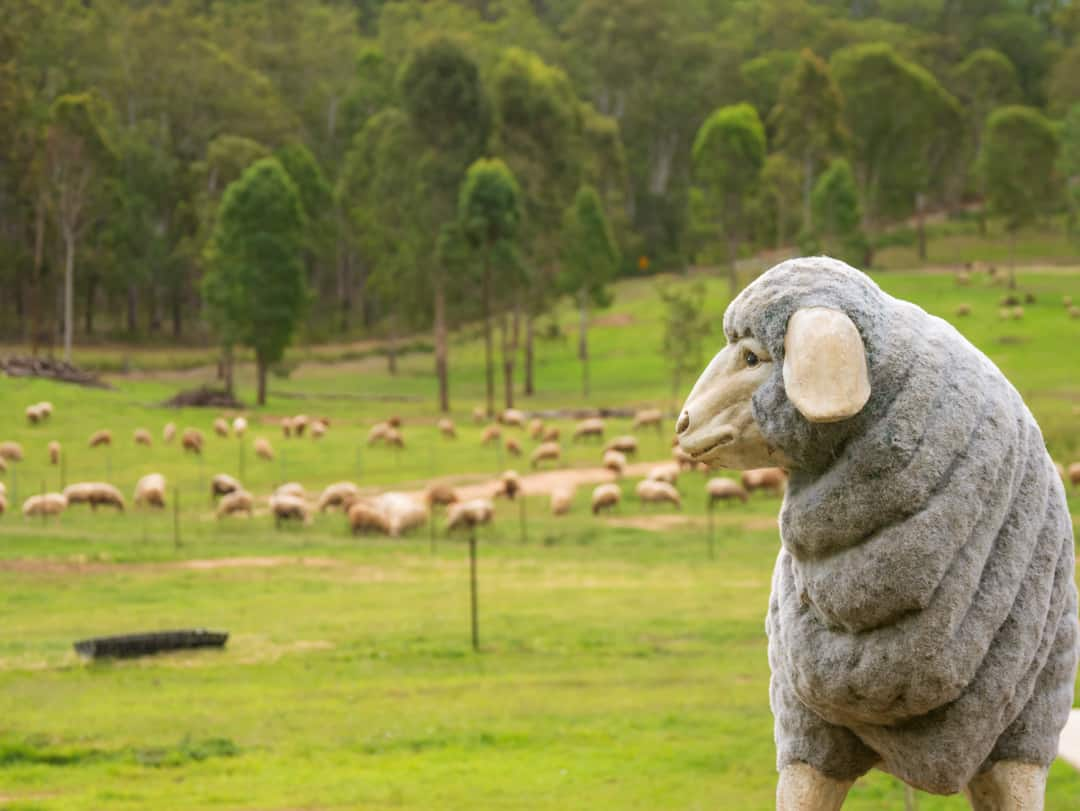 Lockyer Valley sheep