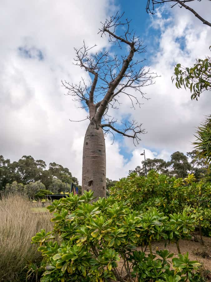 giant boab tree Perth Kings Park