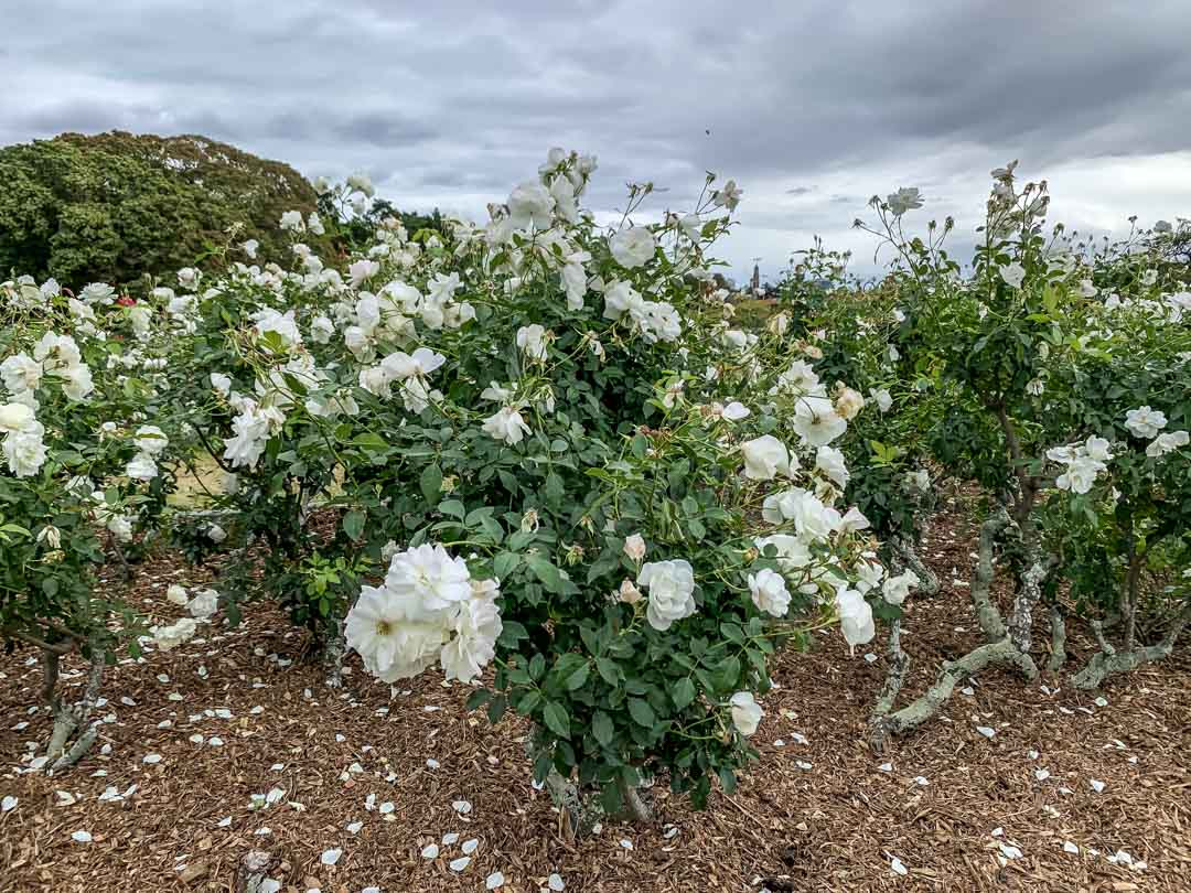 new farm park roses