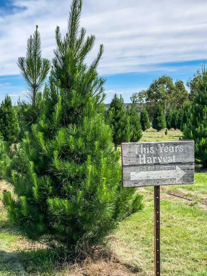 christmas tree farm stanthorpe